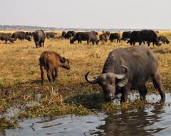 July 23- Water Safari Cape buffalo herd baby (2) (inthepotter'shands) Tags: capebuffalo waterbuffalo mother baby calf herd botswana