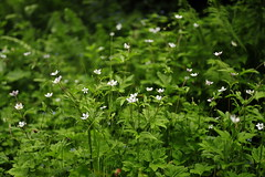 river anemone bush | Valley of Flowers (arnabchat) Tags: india uttaranchal himalayas mountains hills monsoon flowers valleyofflowers blossom nationalpark unescoworldheritagesite green arnabchat canon 2018 july2018 canon6dmkii 35f14l dof shade medicinal medicinalplant jaributi riveranemone riverwindflower eriocapitellarivularis