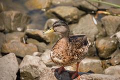 610_3304 (rskim119) Tags: irvine san joaquin wildlife sanctuary refuge nikon d610 28300 bird animal nature duck