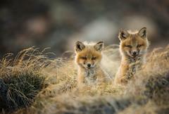 Kit and kaboodle (Clare Kines Photography) Tags: arctic nunavut fox den arcticbay mammal vulpesvulpes wildlife canada kit redfox pup north