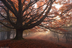 Autumn Vibes (Hector Prada) Tags: forest bosque autumn otoño light luz leaves hojas mist bruma mood atmósfera beechforest hayedo basquecountry paísvasco nature naturaleza dreamy
