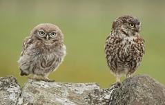 Little owl and an owlet (bilska.anna) Tags: