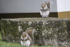 Twin Squirrel (Norse_Ninja) Tags: squirrel animals animal squirrels panasonic gh5 york england journeyjd17