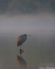 Foggy Memory (Birds and Other Cools Stuff!) Tags: heron egret bird perch hunting fishing fog foggy bayou bay tricolored color