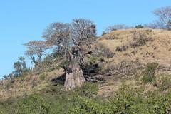 Adansonia digitata (Baobab) (Arthur Chapman) Tags: adansonia digitata adansoniadigitata baobab mopani krugernationalpark limpopo southafrica taxonomy:kingdom=plantae taxonomy:phylum=magnoliophyta taxonomy:class=magnoliopsida taxonomy:order=malvales taxonomy:family=malvaceae taxonomy:genus=adansonia taxonomy:binomial=adansoniadigitata taxonomy:common=baobab geocode:accuracy=50meters geocode:method=gps geo:country=southafrica geo:region=africa