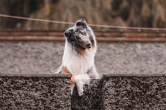 Pequeño Lulo. (Gerardo Nava Fotografía) Tags: sony sonyflickraward sonyalpha sonyméxico sonya77ii sonyalphamexico sonnart18135za sonnart18135 sonyzeiss sal135f18z zeiss zeisslens lulo dog doggie doggy animales bokeh retrato portrait méxico color colors collie mexicocity