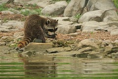Clamming on shore (deanspic) Tags: raccoon shore g3x clam clamming