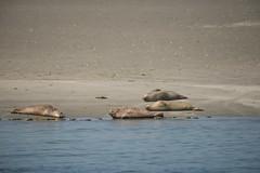 Phoca vitulina_DVL0198 (larry_antwerp) Tags: nederland zeeland oosterschelde zeehond seal phocavitulina commonseal gewonezeehond harbourseal harborseal