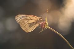 (Javy Nájera) Tags: javynájera larioja aproximación campo color flor insecto macro macrofotografía mariposa paisaje verano vida