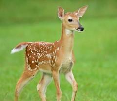 Bambi (dina j) Tags: floridawildlife florida wildlife deer fawn babydeer nature outdoors floridanimal pinellascounty