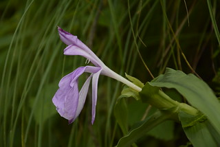 Roscoea purpurea (9)