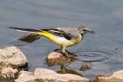 IMG_7805.jpg (TonyJ 3006) Tags: birds greywagtail places slimbridge