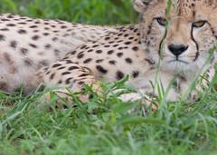 Cheetah (annick vanderschelden) Tags: cheetah acinonyxjubatus cat carnivore cupmale grass green spotted felinae africa conservation fly nature wilderness mammal