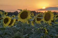*sunflowers at sunset* (Albert Wirtz @ Landscape and Nature Photography) Tags: sunflowerfield sonnenblumenfeld flower natur nature natura albertwirtz moseleifel eifelmosel osannmonzel wittlicherland wittlichland feld field landscape landschaft paesaggi paysages campagne campagna campo rheinlandpfalz rhinelandpalatinate germany allemagne deutschland sunset sonnenuntergang backlight gegenlicht goldenestunde eifel summer sommer hot sunflowersatsunset albertwirtzlandschaftsundnaturfotografie albertwirtznaturfotografie albertwirtzphotography albertwirtzlandscapeandnaturephotography albertwirtznaturephotography paisaje d810 nikon platten extraordinarilyimpressive