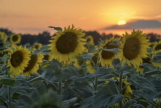 *sunflowers at sunset*