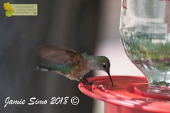 Broad-tailed Hummingbird female (ironekilz) Tags: chatfieldstatepark