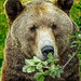 Hungry Grizzly just awakened from hibernation (2)
