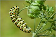 Chenille du papillon Machaon ( Papilio machaon )  Distance Focus : 0.53 m (Norbert . L . PHOTO) Tags: bokeh chenilledumachaon nikon d500 105mmmacrof28
