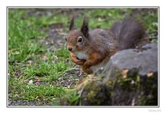 Eskrigg Red (Seven_Wishes) Tags: lockerbie eskrigg outdoor photoborder canoneos5dmarkiv sigma150600mmf563dgoshsmcontemporary jo eskriggnaturereserve animals wildlife nature dof depthoffield rodent mammal redsquirrel squirrel woodland edoliverphotography 2018 animal grass treestump views2k