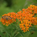 Pearl Crescent and Butterfly Milkweed