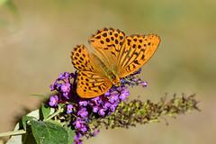 DSC_3484 (sylvettet) Tags: papillon butterfly 2018 papillontabacdespagne silverwashedfritillary argynnispaphia nikon buddleia
