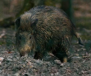 Sus scrofa, le sanglier, the wild boar.
