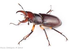 Lucanus capreolus (Kevin Stohlgren) Tags: lucanus capreolus reddishbrown stag beetle sony a77 sigma 70mm macro