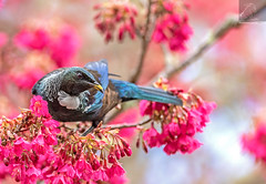 Tūī 47 (Black Stallion Photography) Tags: tūī bird wildlife newzealand nzbirds pink flowers blossom spring nectar purple blue green feathers yellow pollen beak black stallion photography igallopfree