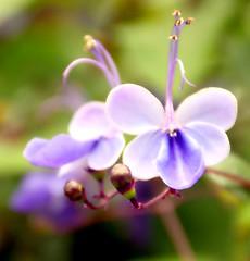 Flower Petal Wishes (barbara_donders) Tags: natuur nature summer zomer flower flowerheads bloemen bloemknoppen magical beautiful mooi prachtig bokeh macro paars purple