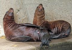 californian sealion Artis JN6A1396 (j.a.kok) Tags: zeeleeuw sealion californischezeeleeuw californiansealion animal artis amerika america noordamerika northamerica mammal zoogdier dier predator