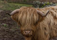 Highland Cow (paul.humphrey82) Tags: scotland highland cow farm cattle horn field brown green bigcow highlandcow uk farmyard animals nose