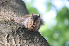 Squirrels in Ann Arbor at the University of Michigan (August 6th, 2018) (cseeman) Tags: gobluesquirrels squirrels annarbor michigan animal campus universityofmichigan umsquirrels08062018 summer eating peanut augustumsquirrel foxsquirrels easternfoxsquirrels michiganfoxsquirrels universityofmichiganfoxsquirrels