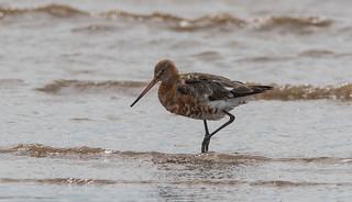 Black Tailed Godwit, Crosby Beach
