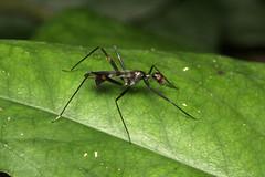 Diptera, Micropezidae sp. (Fly) - Kibale, Uganda (Nick Dean1) Tags: animalia arthropoda arthropod hexapoda hexapod insect insecta diptera fly uganda bigodiwetlands kibale kibalenationalpark