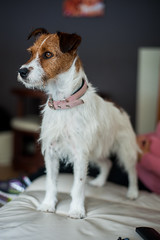New Doggie (balb_kubrox) Tags: dog parson russell terrier