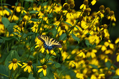 It's a Match! (Maggggie) Tags: yellow flowers swallowtail butterfly garden explore