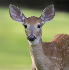 Fawn portrait (Mawrter) Tags: fawn blind nature hide wild wildlife canon specanimal