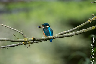 Kingfisher male juvenile