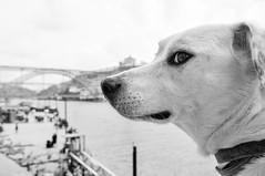 Ice the Dog in Ribeira (Gail at Large | Image Legacy) Tags: 2018 icethedog portugal ribeira gailatlargecom
