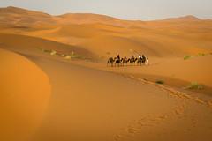 Fade Out (Darren Poun) Tags: sahara desert merzouga morocco africa arab arabic nature landscape sunset traveling berber moroccan nikkor58mm nikon d800 d800e f14 portrait camel animal trekking trek ngc