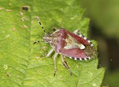 Hairy Shieldbug - Dolycoris baccarum (Prank F) Tags: wicksteedpark kettering northantsuk wildlife nature insect macro closeup bug shieldbug hairy sloe dolycorisbaccarum