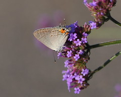 Gray hairstreak (KsCattails) Tags: butterfly flower grayhairstreak kscattails macro nature overlandparkarboretum