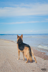 MedRx (Port-Cartier) (MedicalRx) Tags: dogs d5100 dogphotography dogtrainer dog nature mutt action nikon canada canine animal quebec german germanshepherd gerberianshepsky germanshepherddog shepsky beach love husky alaskan vacation 50mm