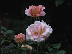 17Jun18 Three Roses Noise (Daisy Waring World) Tags: roses peachroses