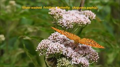 Silver-washed Fritillary Butterfly (Argynnis paphia) VIDEO (Brian Carruthers-Dublin-Eire) Tags: silverwashed fritillary butterfly argynnis paphia silverwashedfritillarybutterfly argynnispaphia phoenix park dublin ireland phoenixpark dublinireland video recording videorecording mov mp4 silverwashedfritillary fritileán geal tabac despagne kaisermantel fritileángeal tabacdespagne animalia arthropoda insecta lepidoptera nymphalidae apaphia macro insect woodland wood
