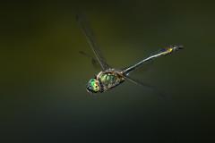 Smaragdlibelle (Cordulia aenea) 1214 (fotoflick65) Tags: smaragdlibelle cordulia aenea fotoflick65 leopold kepplinger d7100 32 ds dragonfly odonata tamronsp150600mmf563divcusdg2 y2018 ym04 st1600 st16003200 fl500 fl450600 fliegende groslibelle falkenlibelle inflight insect insekt bug ta150600 libelle imflug iso800 emeralddragonfly anisoptera grün