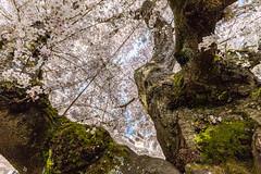 Cherry blossoms (mfeingol) Tags: spring yoshinocherrytree universityofwashington cherryblossom washington cherry seattle uw