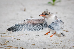 Look Mom, I'm flying (tresed47) Tags: 2018 201807jul 20180704nynickersonbirds birds bryanscamera canon70d commontern content folder july longisland ny nickersonbeach petersphotos places season summer takenby tern us ngc