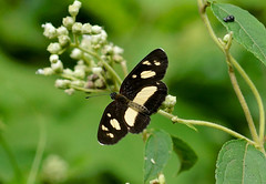 Creamy Crescent --- Eresia clio (creaturesnapper) Tags: lepidoptera butterflies costarica sarapiqui nymphalidae creamycrescent eresiaclio