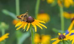 Skipper - Sachem (Atalopedes campestris) (tkclip47) Tags: sachem atalopedescampestris skipper butterfly insect black eyed susan garden flowers blooms fantasticnature